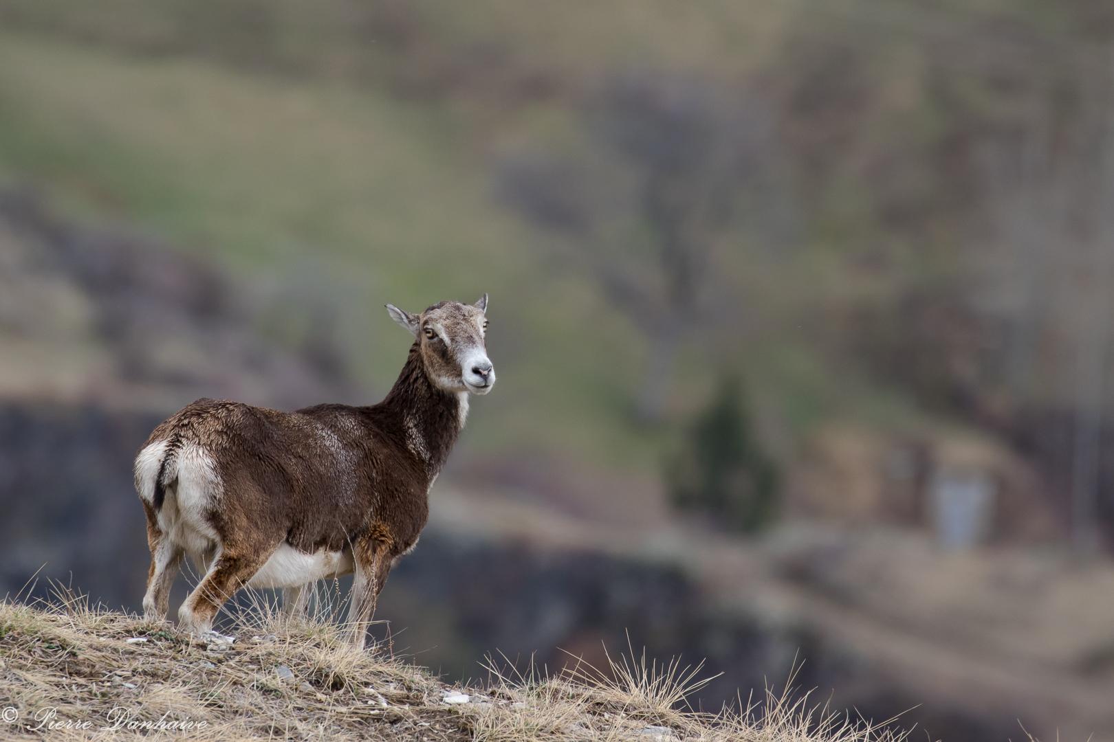 mouflon-9