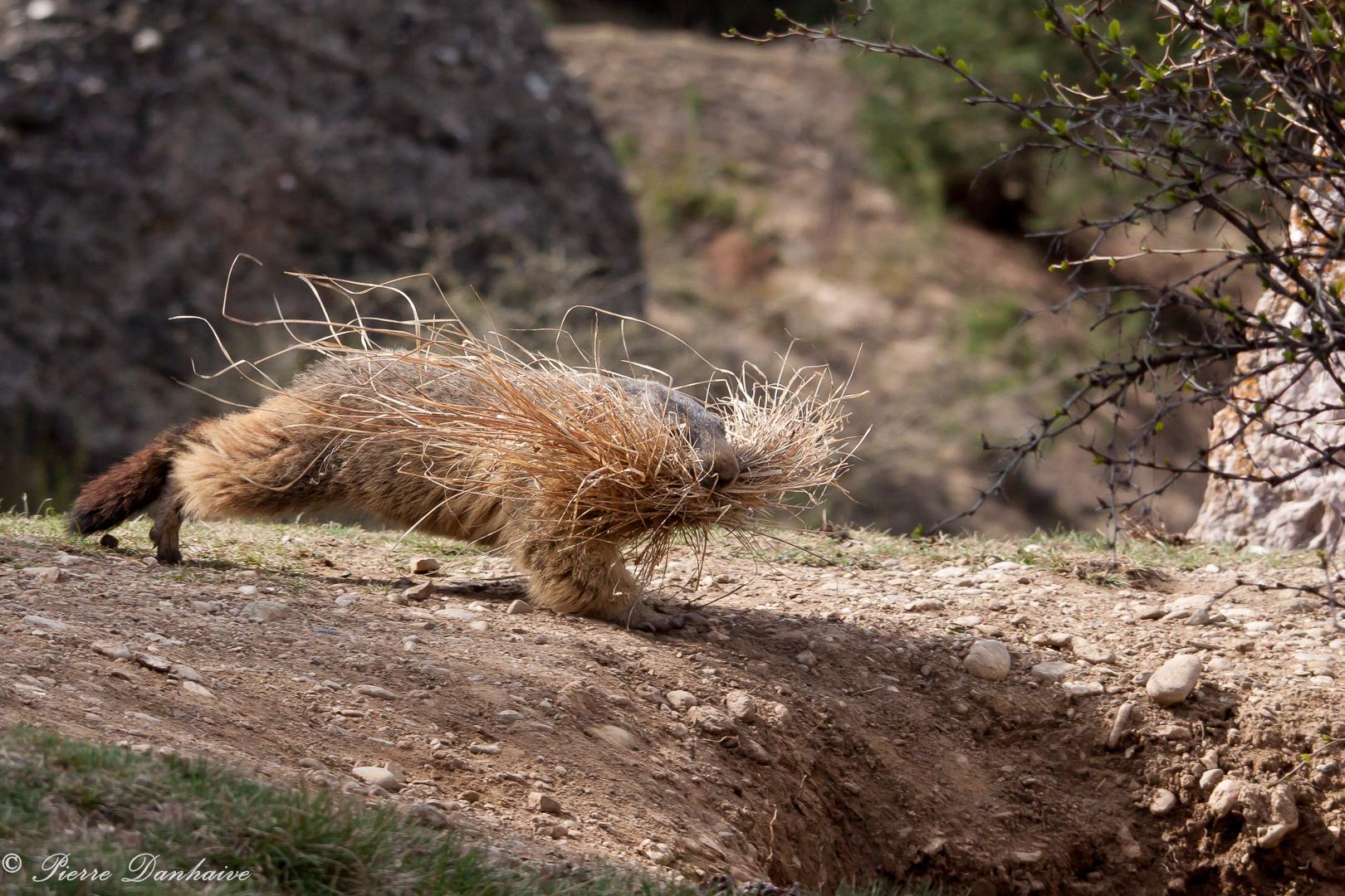 marmottes_2