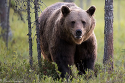 Ours_Finlande_2018-6