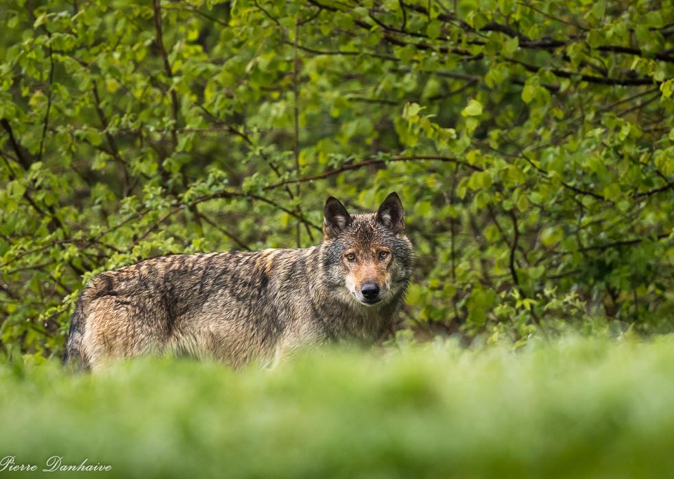 Loup_Pologne-4.jpg