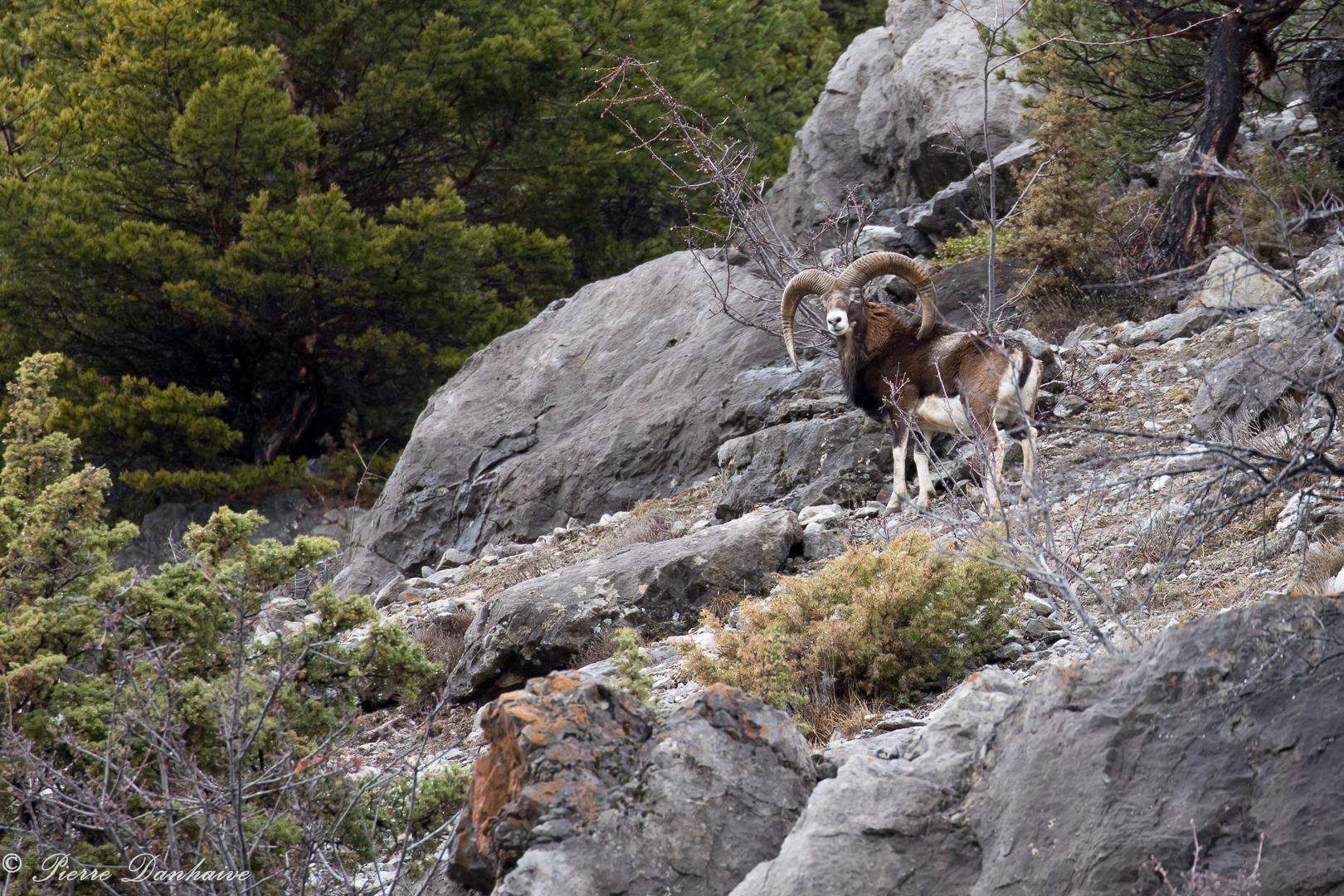 mouflon-8