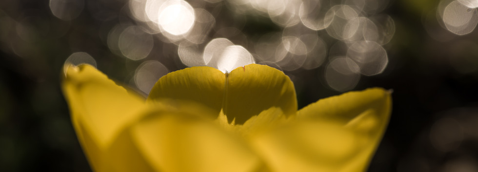 flare_tulipe-2.jpg