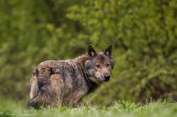 Loup retrav_