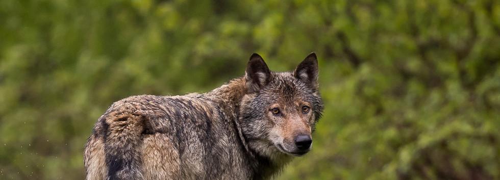 Loup retrav_.jpg