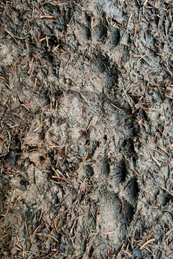 Chevreuils et trace blaireau-3
