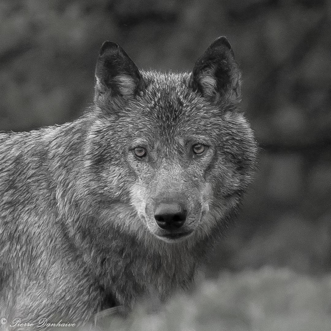 Portrait Loup_N-B_2