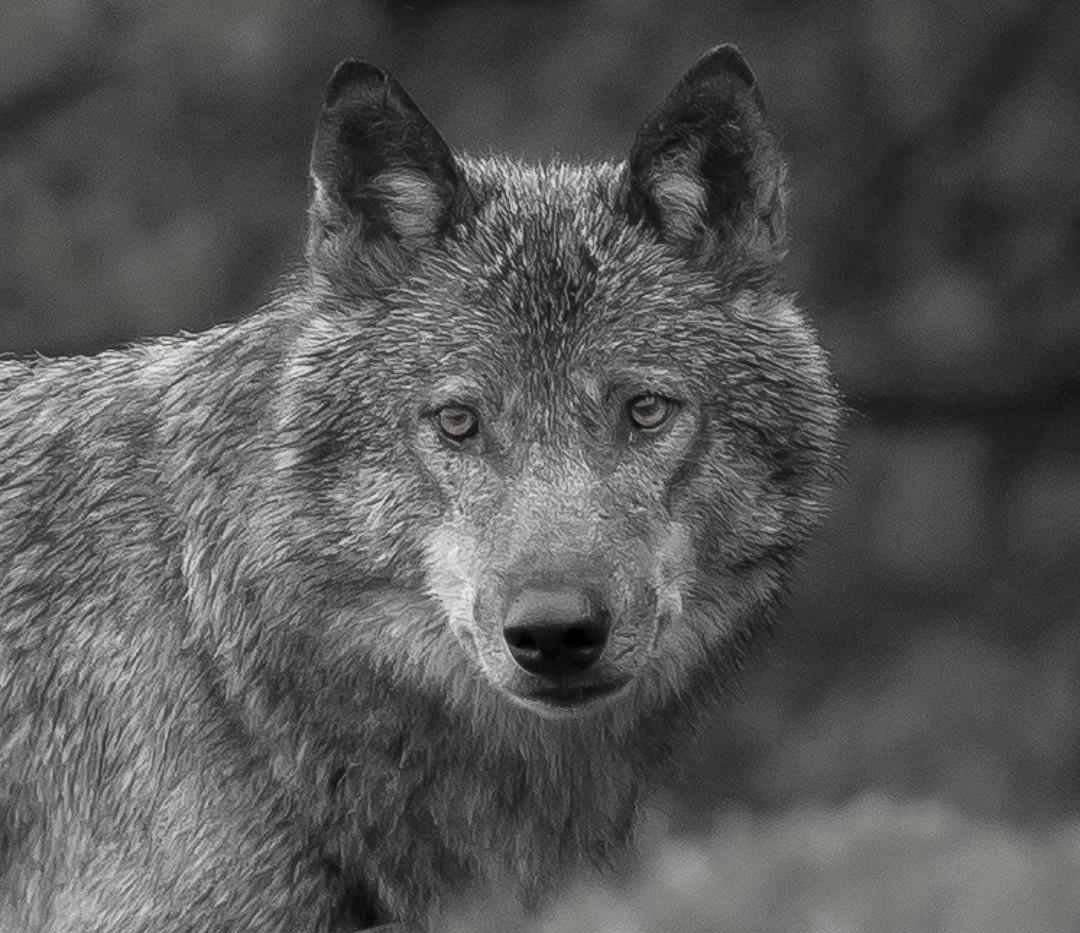 Portrait Loup_N-B_2.jpg