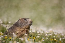 marmottes_2-11