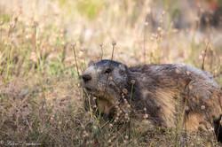 marmottes-5