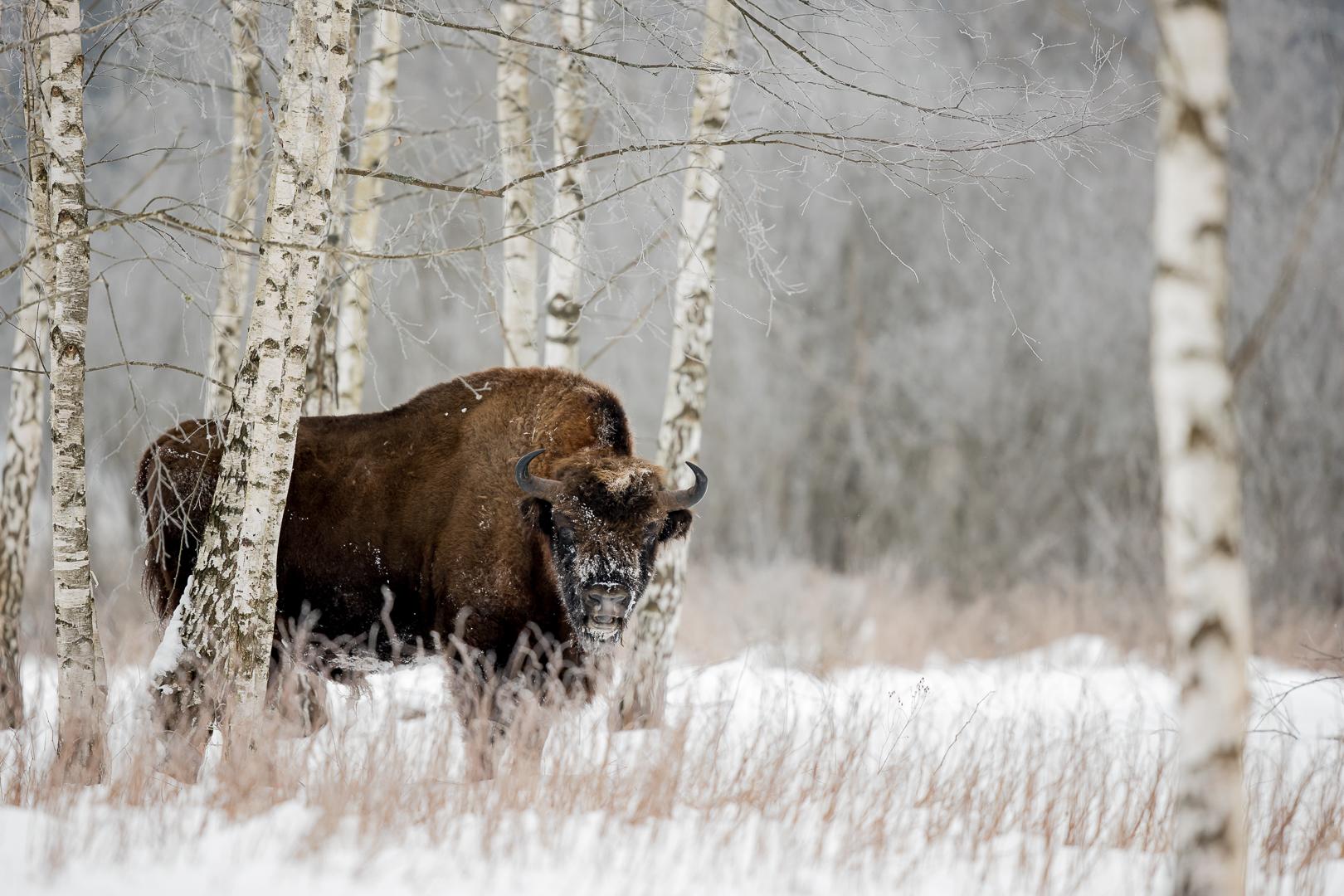 Bison aux bouleaux