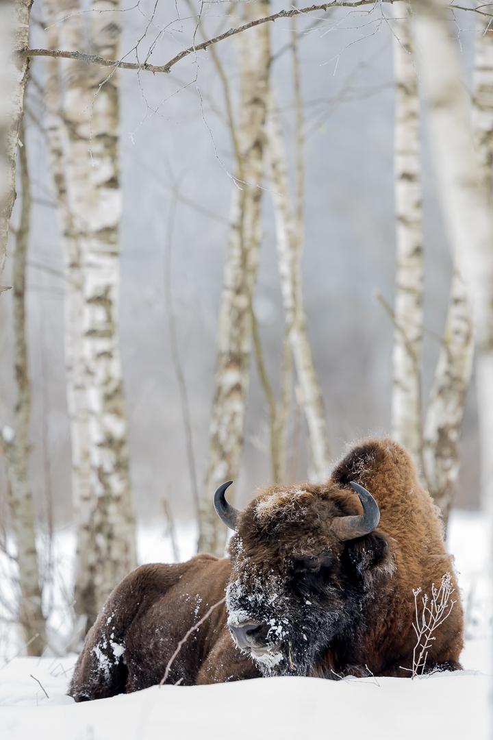 Aux bouleaux, Bison !
