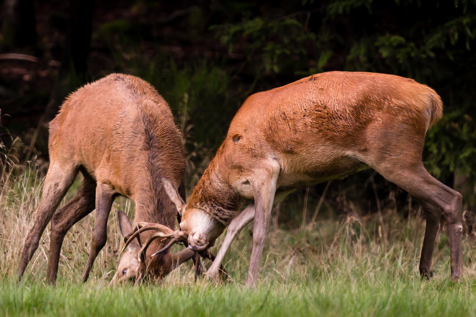 jeunes cerfs