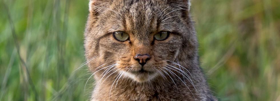 Chat forestier-6.jpg