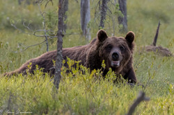 Ours_Finlande_2018-4