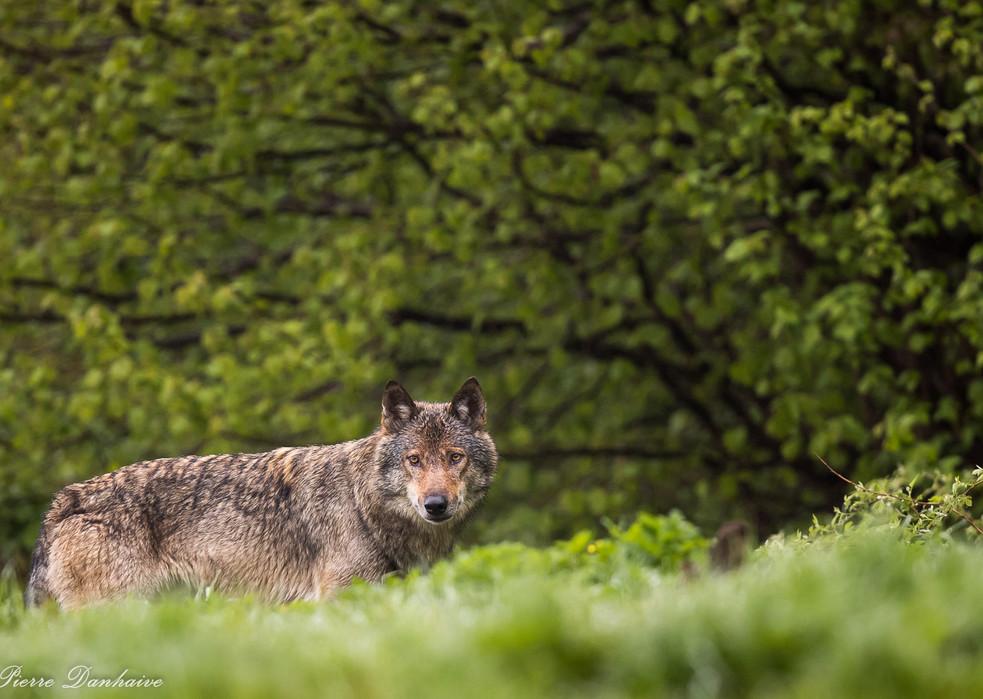 Loup_Pologne-3.jpg