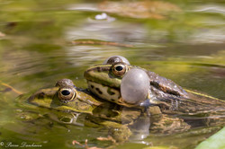 grenouilles vertes-9