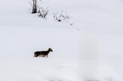 Mouflonne à la peine