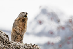siffle, marmotte !