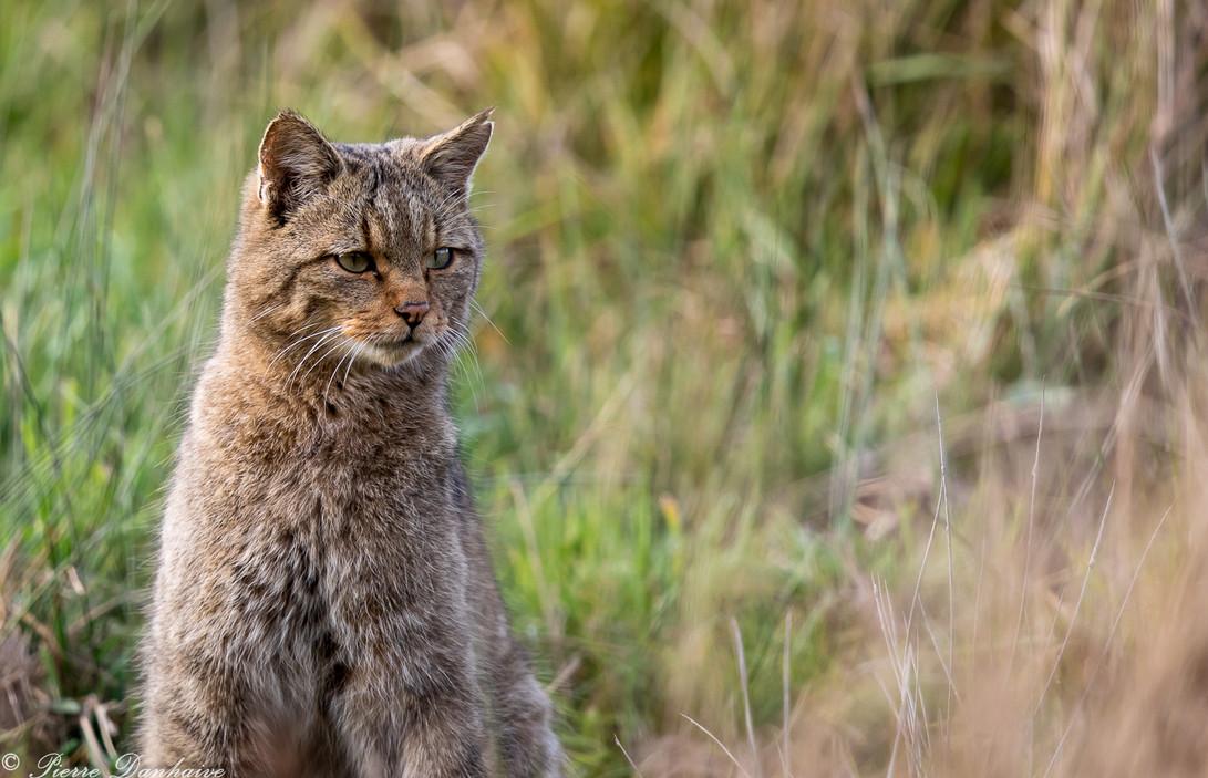 Chat forestier-3.jpg