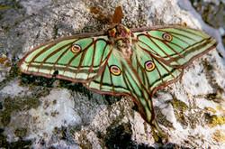 graellsia isabellae galliaegloria