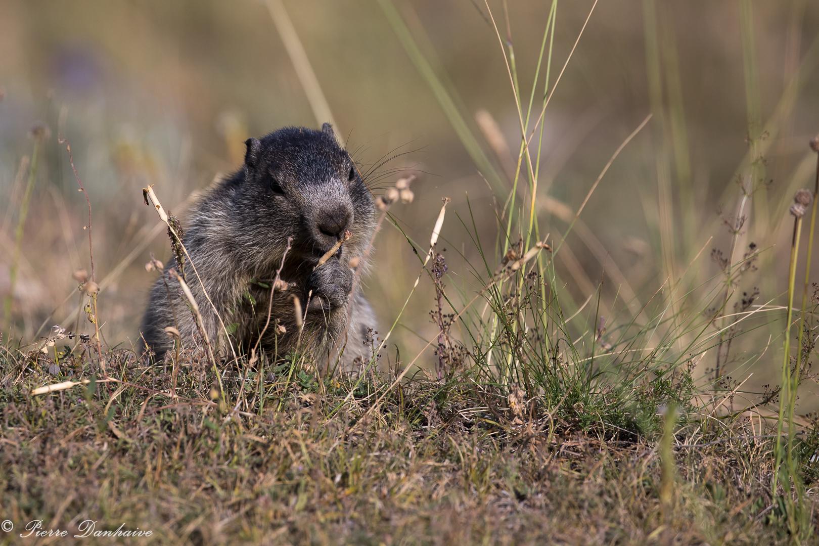 marmottes-10