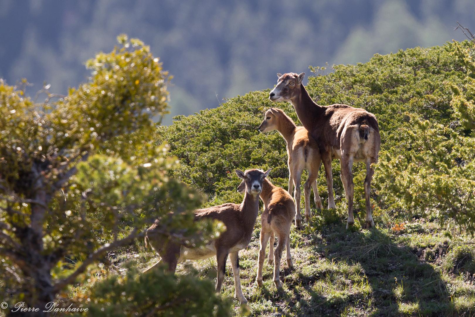 mouflon-3