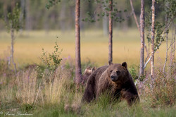 Ours_Finlande_2018-7