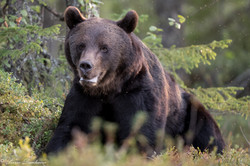 Ours_Finlande_2018-5