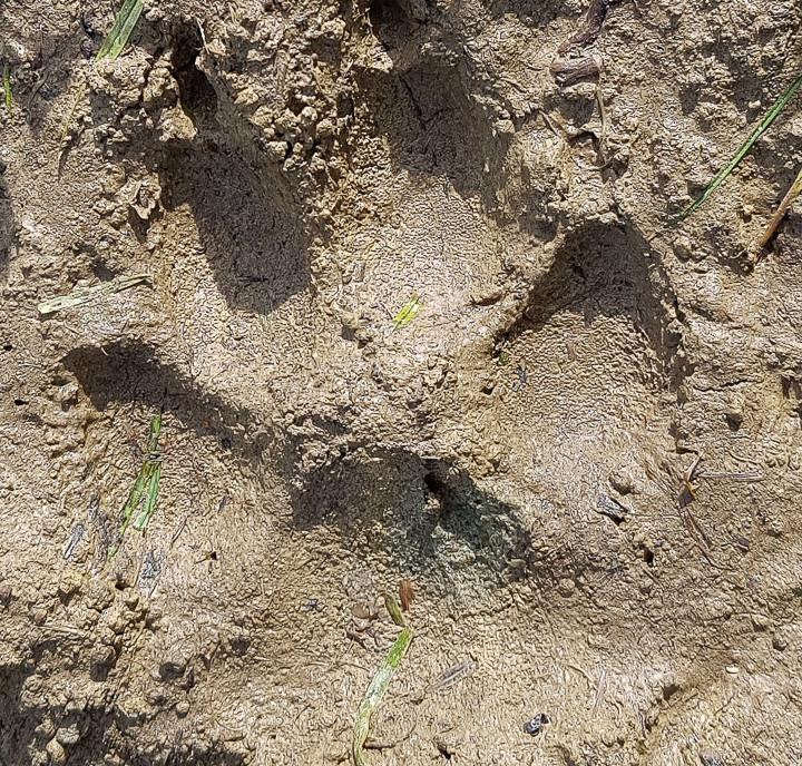 Loup gris_empreintes-3.jpg