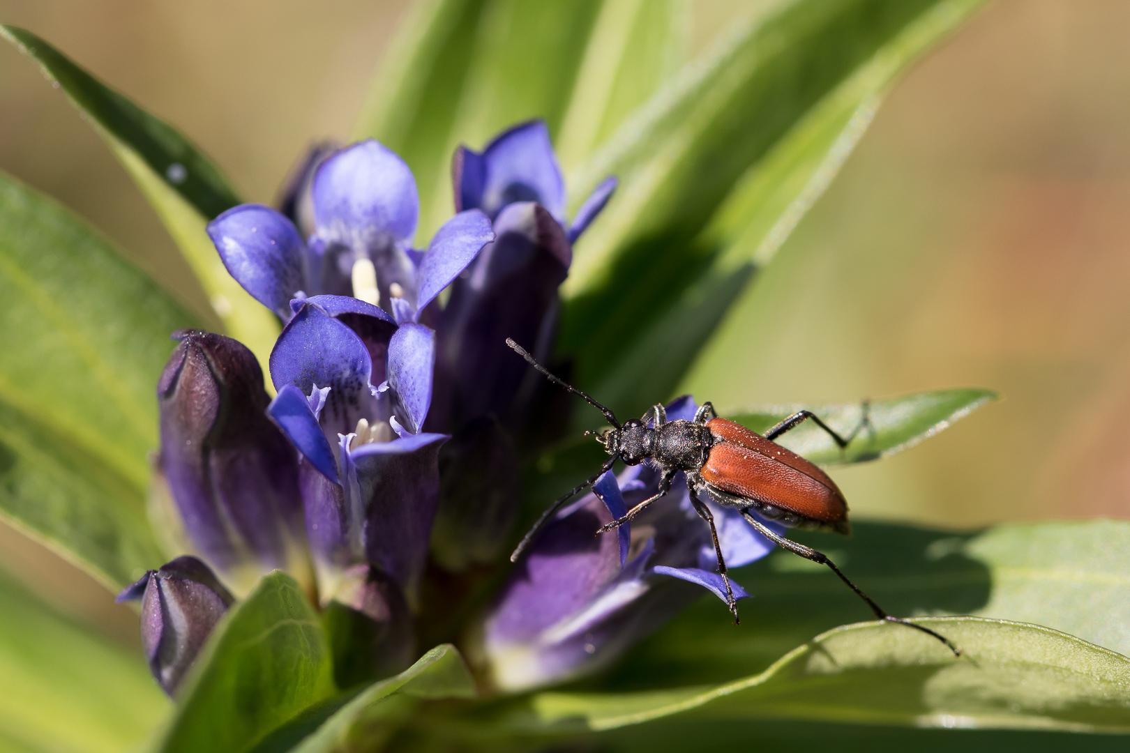 Coléoptères sur gentiane croisette