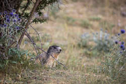 marmottes-2