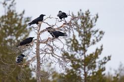 corneille mantelée et corbeau