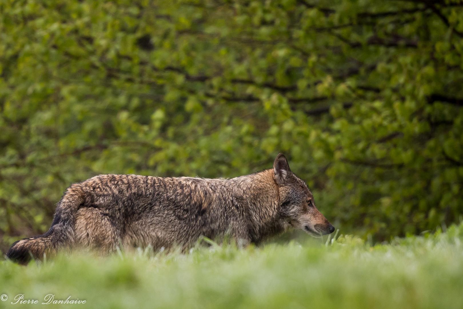 Loup retrav_-2