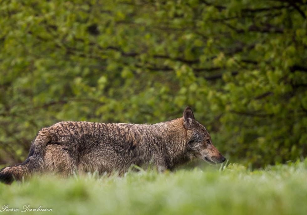 Loup retrav_-2.jpg