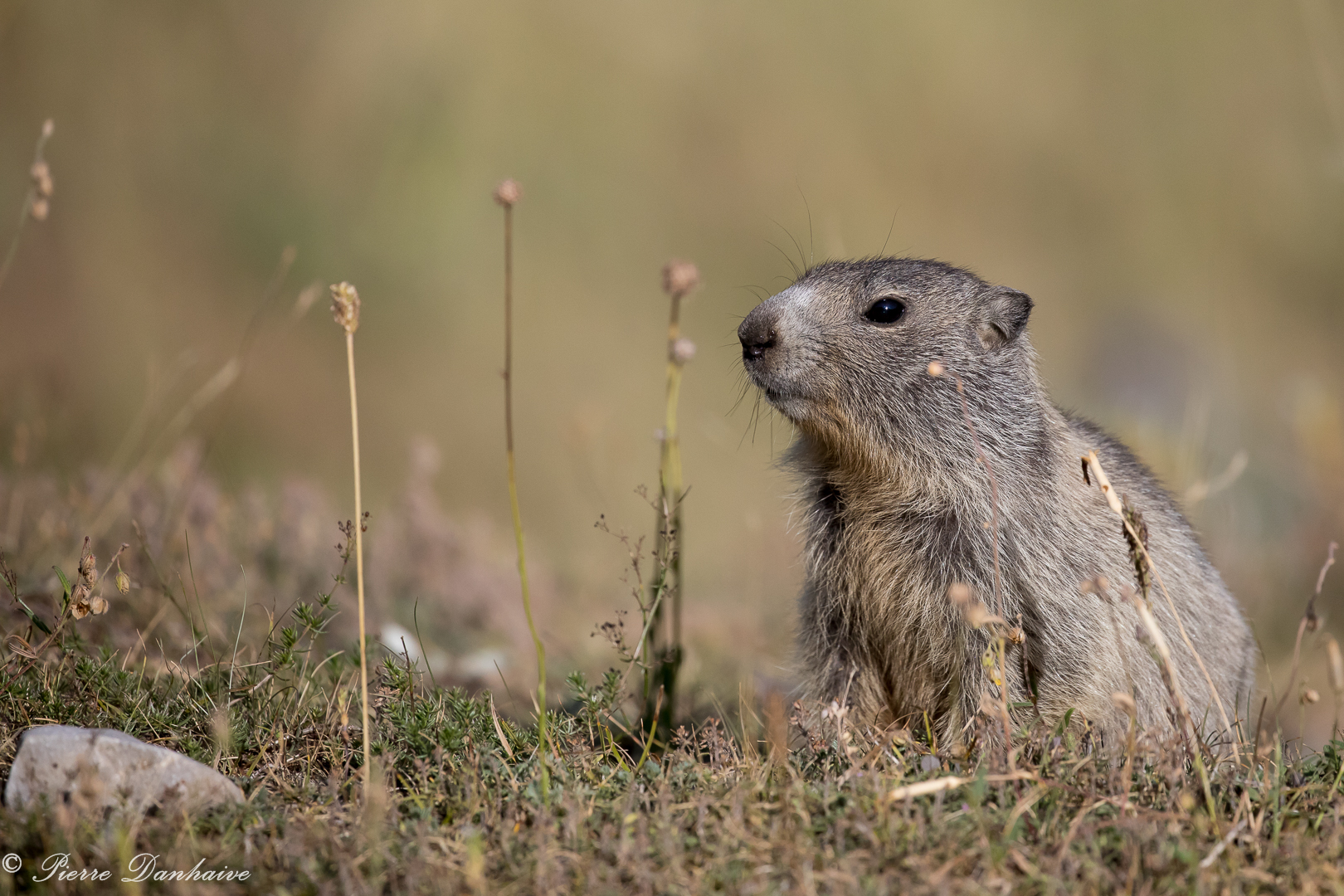 marmottes-6