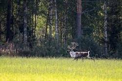 Renne forestier