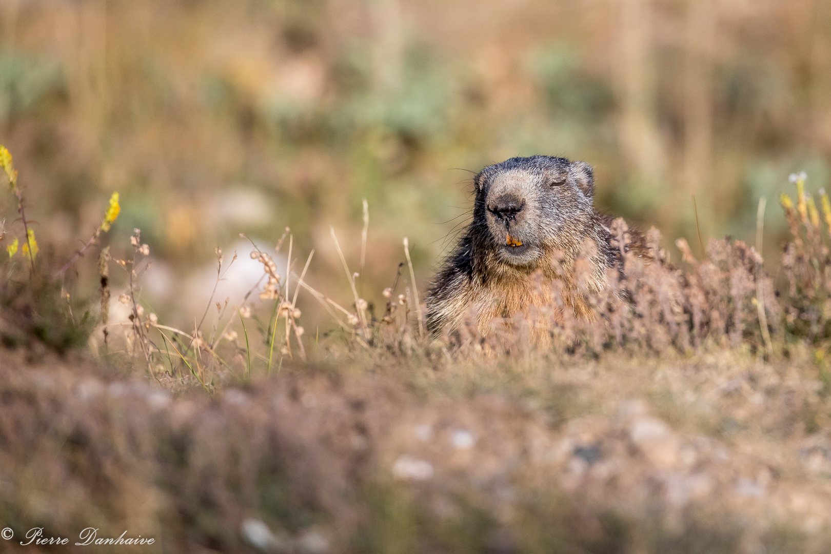 marmottes-4