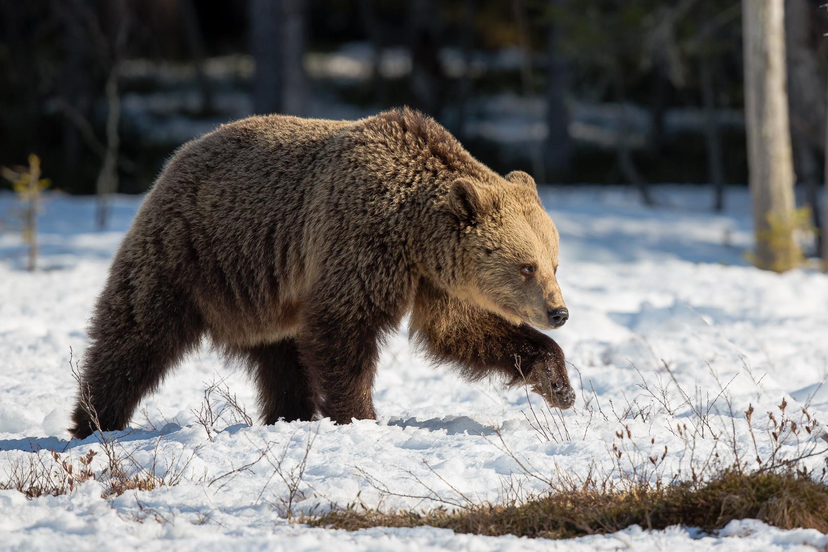 ours précautionneux