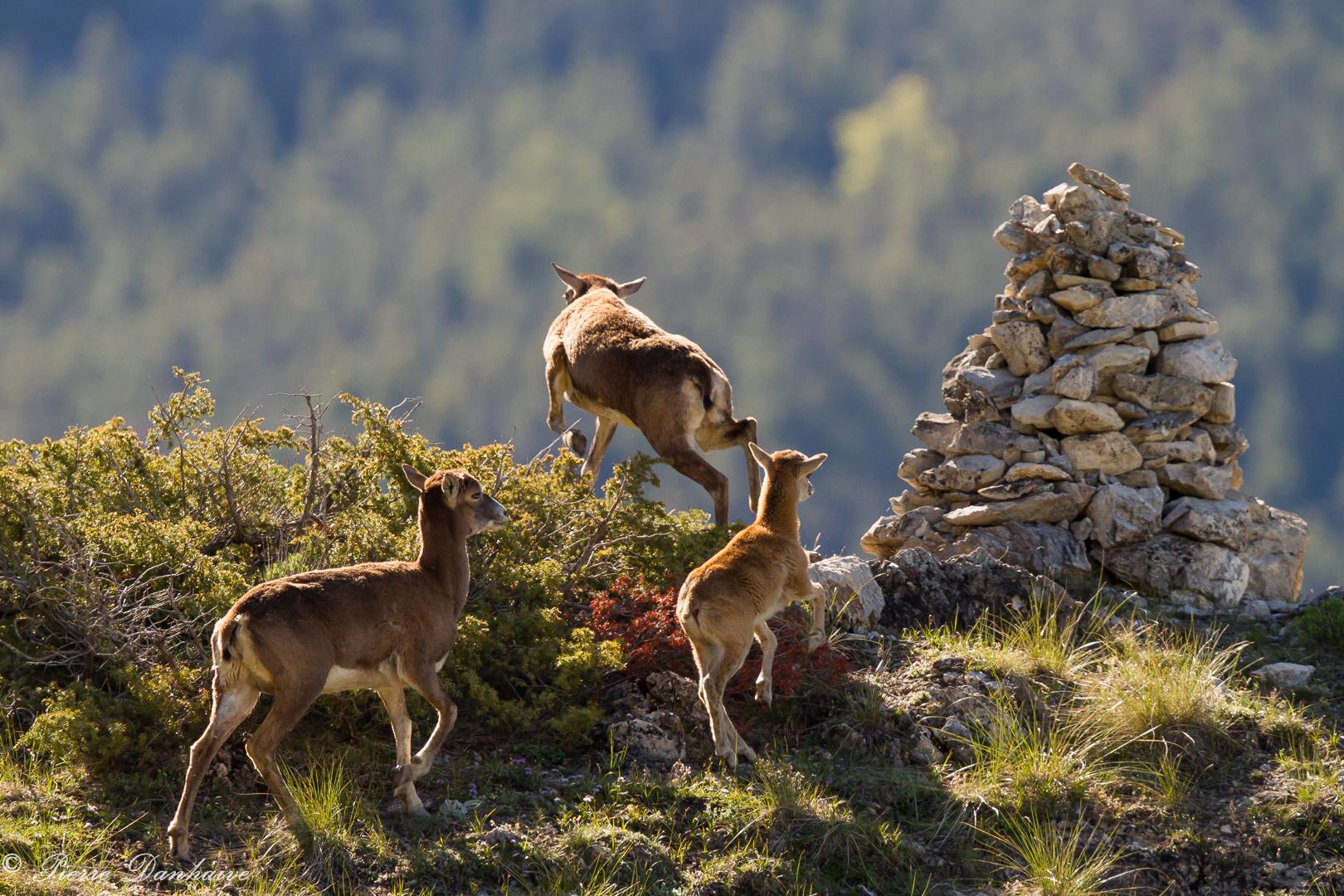mouflon-5