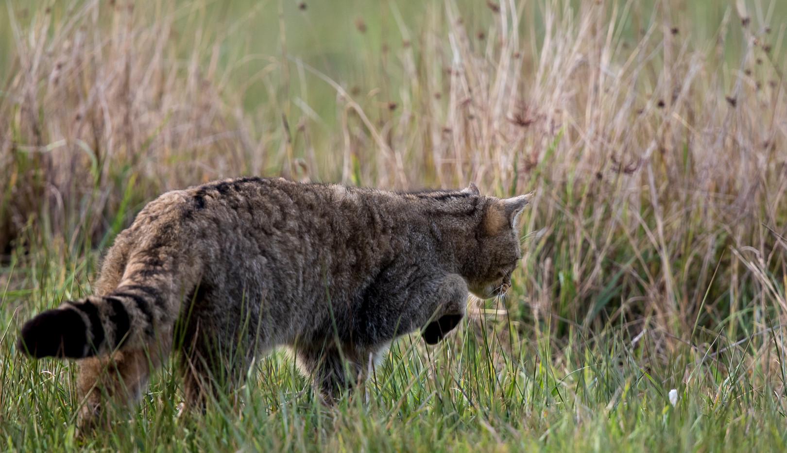 Chat forestier-2.jpg