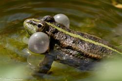 grenouilles vertes-3
