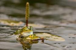 Batraciens et reptiles-9