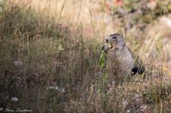 marmottes-3