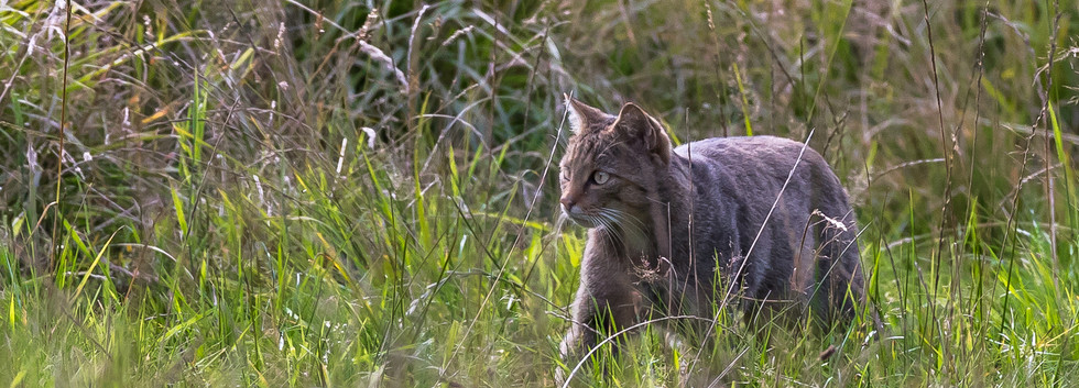chat forestier_2-5.jpg