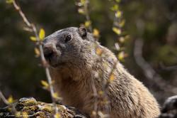 marmottes_2-3