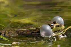 grenouilles vertes-6