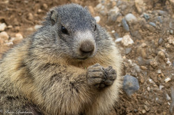 marmottes_2-13