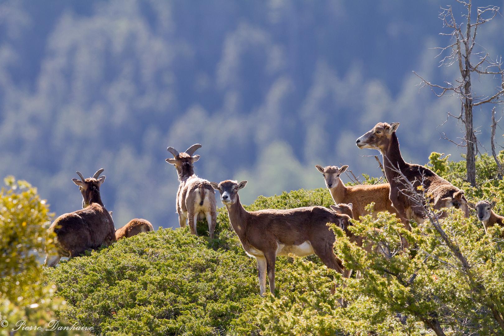 mouflon-4
