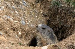 marmottes_2-14