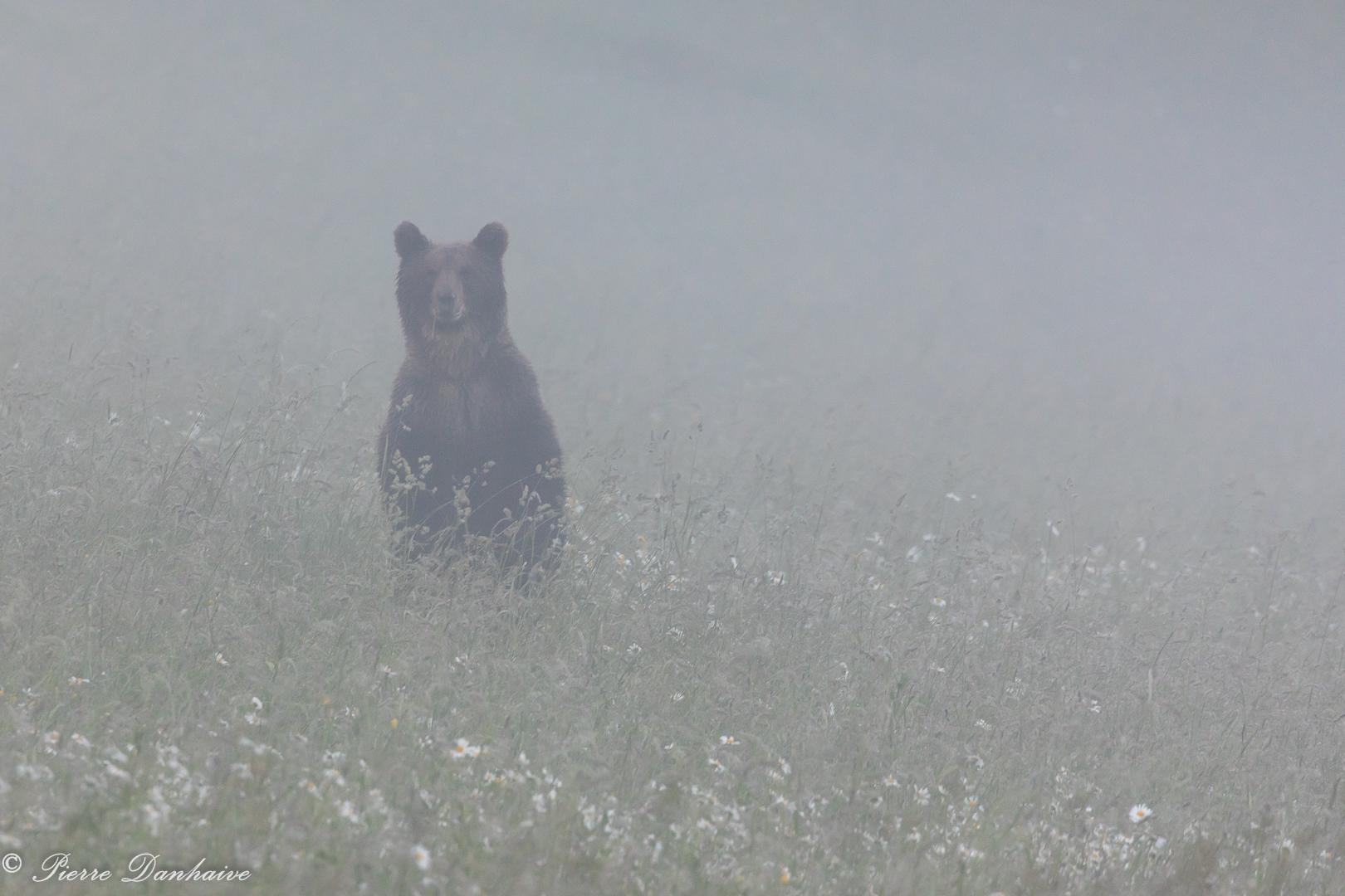Un ours dans la brume